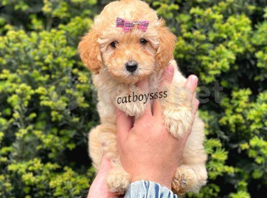 Dark apricot dişi toy poodle yavru @catboyssss da