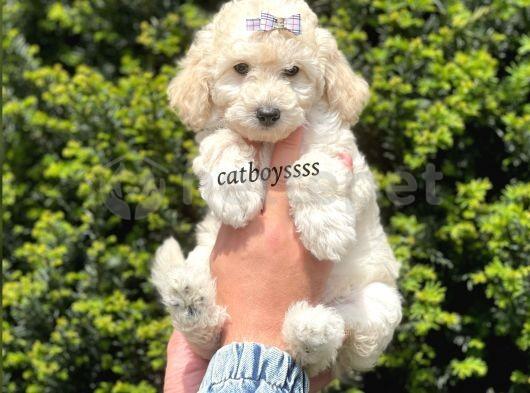Beyaz minyatür poodle yavrular @catboyssss da