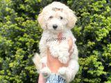 White minyatür poodle yavrular @catboyssss da