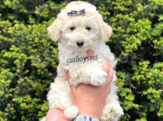 Minyatür white poodle erkek yavru @catboyssss da