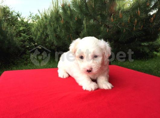 Son Erkek Maltese Terrier Yavru