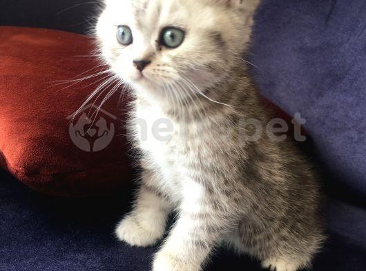 İki aylık mavi gözlü British Shorthair