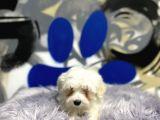 Show class Maltese Terrier Yavrular
