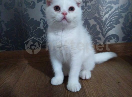 Beyaz Scootish Fold Kedi