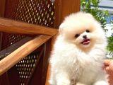 Show class teddy bear Pomeranian boo yavrumuz