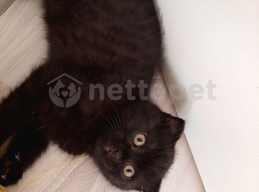 orijinal siyah scottish fold