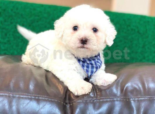Yakışıklı Maltese Terrier Oğlumuz