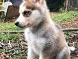 4 aylık husky