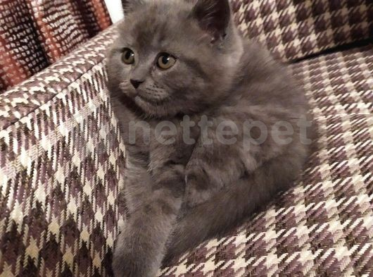 Bristish Yavru kedi
