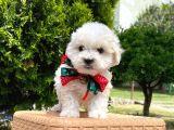 Maltes terrier mini erkek yavrumuz