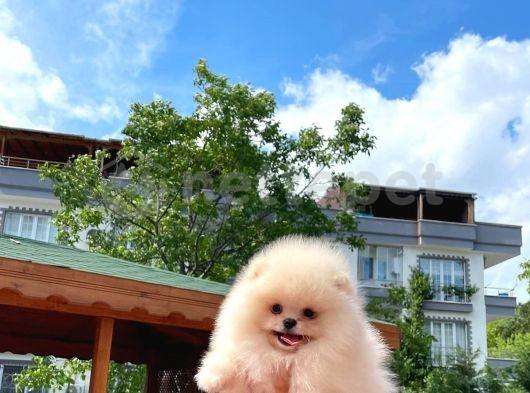Yarışma düzeyi secereli Pomeranian boo yavrumuz