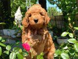 Anne Altından Red Toy Poodle Orjinal