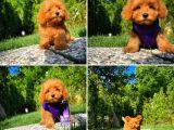 Mini boy red toy poodle yavrumuz