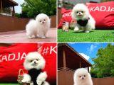 Teddy bear miniboy Pomeranian boo yavrumuz