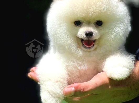 Kar Beyazı Küt Burun TeddyBearFace PomeranianBoo Oğlumuz/ İnstagram: pomeranianboodunyasi_