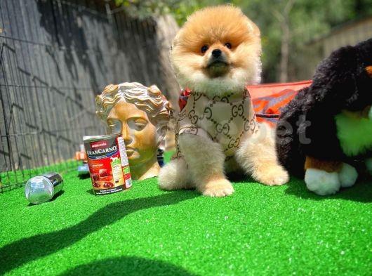 FCI/SCR Sertifikalı Orijinal Renk PomeranianBoo Oğlumuz için İletişime Geçiniz...