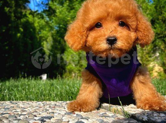 Irk ve Sağlık Garantili ToyPoodle Erkek Yavrumuz/ İnstagram: Pomeranianboodunyasi_