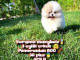 Basık surat 0,5 burun Ödül Adayı SCR li Safkan Boo Pomeranian @yavrupatiler
