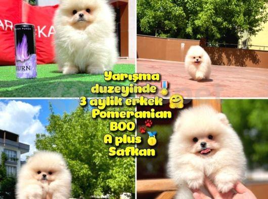Basık surat 0,5 burun Yarışma DüzeyindeSafkan Boo Pomeranian @yavrupatiler