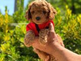 Anne altından sağlık garantili orjinal toy poodle