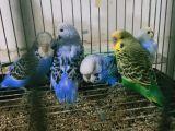 Jumbo ve ingiliz yavru muhabbet kuşları