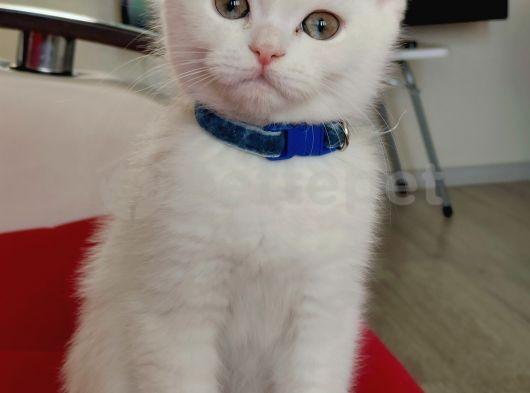 Scottish Fold(Sıfır kulak-Ayıcık surat) ve scottish straight yavru kediler.
