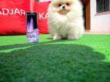 Pomeranian Boo Aşkı❤️