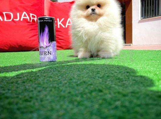 Bu Haftanın Yavrularından 3 Aylık Pomeranian Oğlumuz