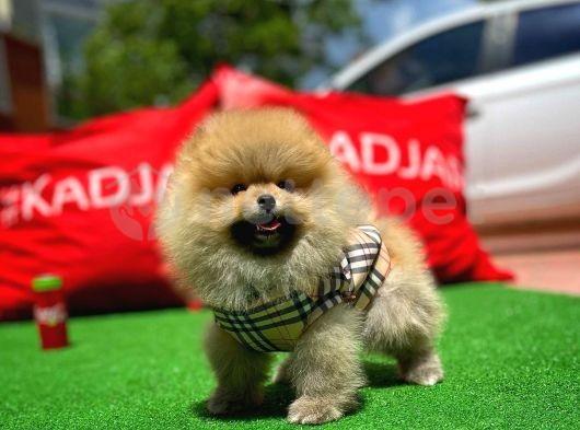 Bakımı en kolay rahat küçük ırk Pomeranian Boo