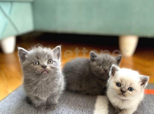 Scottish Straight yavru kedilerim yeni yuvasınu arıyor