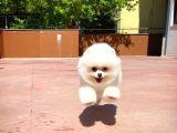 3 Kat Tüy Yapısına Sahip KarBeyazı Erkek PomeranianBoo Oğlumuz