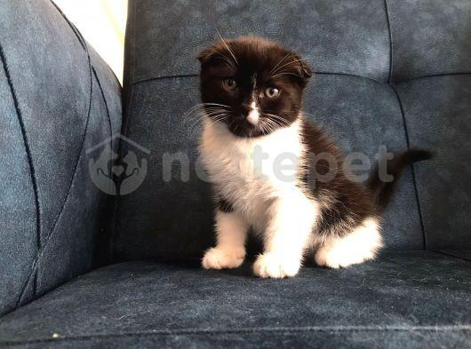Nadir BLACK ve TABBY Scottish fold yavru