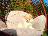 3 Aylık Dişi MiniBoy PomeranianBoo Kızımız