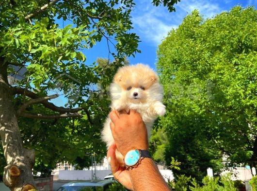 Bakımı kolay oyuncu sevimli Pomeranian Boo yavrumuz