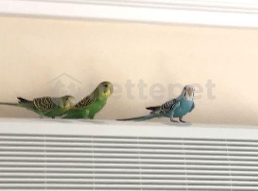 Mavi Yeşil muhabbet kuşları