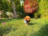 Muazzam Güzellikte  Dişi Red Toy poodle Yavrusu