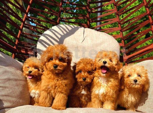 Güzellikleri ile birbirleri ile  yarış içerisinde olan Toy poodle yavrularımız