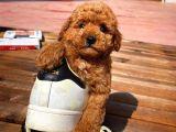 Sözleşmeli ırk ve sağlık garantili toy poodle yavrularımız