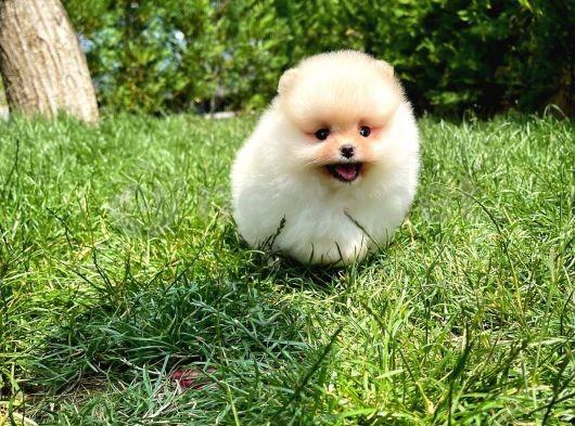 Mini boy teacup teddy bear Pomeranian boo yavrumuz
