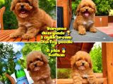 Orjinal renk Safkan Red Brown Toy poodle Kızımız Nutella @yavrupatiler