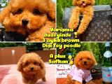 Orjinal renk Safkan Red Brown Toy poodle Kızımız Krema @yavrupatiler