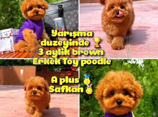 Orjinal renk Safkan Red Brown Toy poodle Oğlumuz Çokonat @yavrupatiler