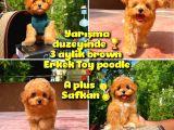 Orjinal renk Safkan Red Brown Toy poodle Oğlumuz KAKAO @yavrupatiler