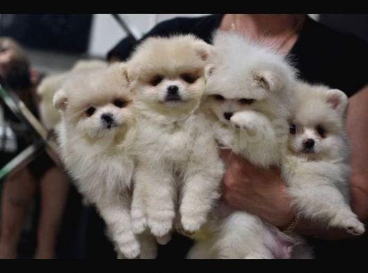 4 Erkek Pomeranian boo Yavrumuza Yeni Sahiplerimizi Arıyoruz