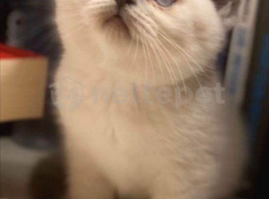 Safkan british shorthair blue point