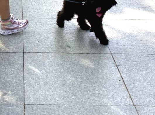 Toy poodle siyah dişi