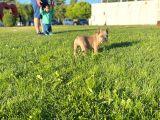 Lilac Favn Quad Egzotic French Bulldog