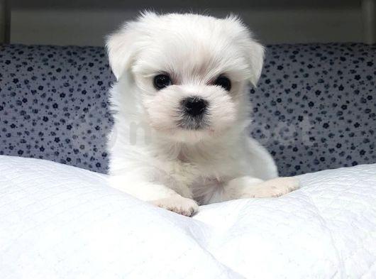 0-3 aylık Maltese Terrier yavrularımız