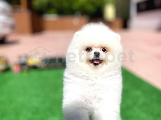 Kar KarBeyazı Teddyface PomeranianBoo Oğlumuz