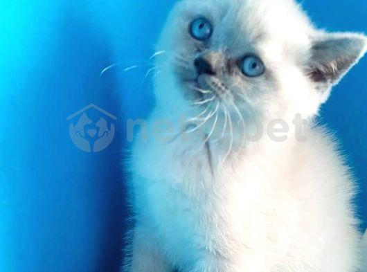 Blu point 2 aylık dişi kedimi sahiplendirmek istiyorum